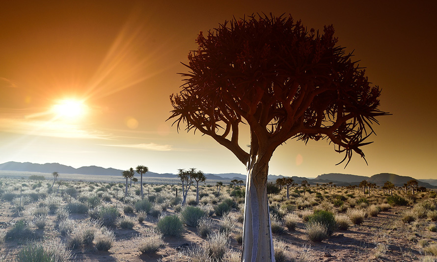 Low sunshine falls on quiver trees in the dry scrubland of the Northern Cape.