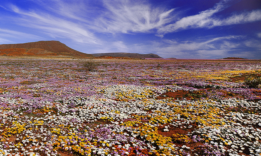 In the early spring, flowers bloom across the arid landscape of the Namaqualand region of the Northern Cape.