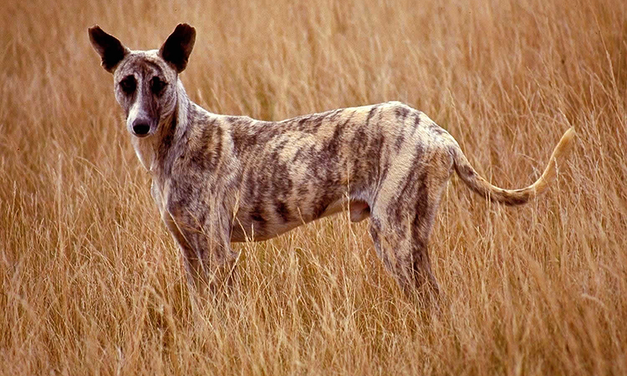 An Africanis in KwaZulu-Natal, South Africa, showing the dog's typical long snout, elegant medium-sized build, short coat, pointed ears and upturned tail. (Image: Johan Gallant, © Africanis Society)