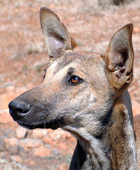 Africanis are smart and loyal dogs, as shown in the face of this dog photographed in KwaZulu-Natal, South Africa. (Johan Gallant, © Africanis Society)