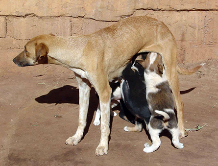 Africanis dog and puppies in Limpopo, South Africa.