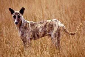 Africanis dog in KwaZulu-Natal