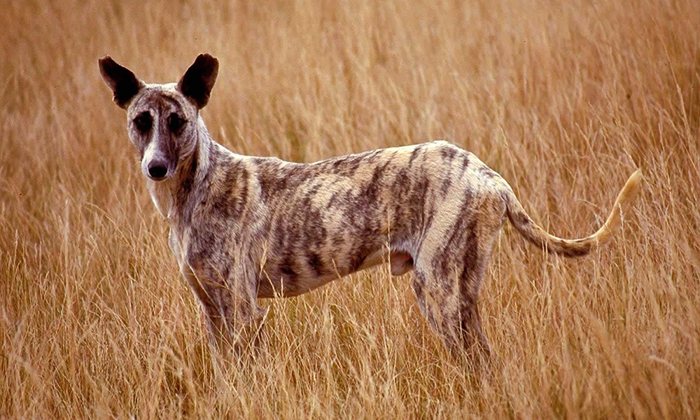 Africanis, the original dog of Africa - South Africa Gateway