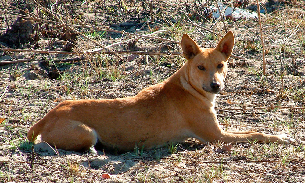 Africanis dog in Botswana. Note the similarity in colour and shape to the Australian dingo. (Johan Gallant)