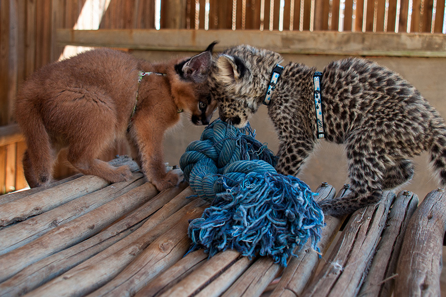 Big cat kittens but heads over a toy at the Cheetah Experience carnivore sanctuary near Bloemfontein in the Free State. At left is a caracal kitten, and at right a leopard kitten. Things will change. Grown caracals weigh, at the most, 18 kilograms. Adult male leopards can be as large as 60 kilograms. For comparison, domestic cats weigh between four and five kilograms. (Chris Parker, CC BY-SA 2.0)