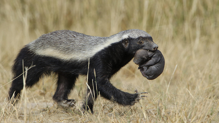 A rare shot of a honey badger carrying her pup, in the Kgalagadi Tranfrontier Park region of the Northern Cape. The honey badger is one of the most fearless and intelligent carnivores on the planet. (Derek Keats, CC BY 2.0)