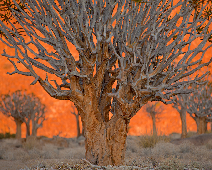 "Quiver trees – ""kokerboom"" in Afrikaans – at sunrise in the Richtersveld National Park, in the far north of the Northern Cape. The Richtersveld Cultural and Botanical Landscape is one of South Africa's nine Unesco World Heritage Sites. (Appalachian Dreamer, CC BY-NC 2.0)"