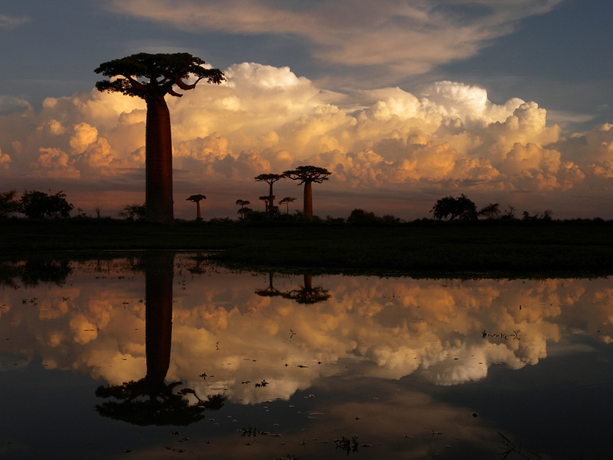 The Avenue of the Baobabs near Morondava in western Madagascar. There are nine species of baobab tree in the world, and six of them are only found in Madagascar. Of the rest, two are on the mainland of Africa, and one in Australia.