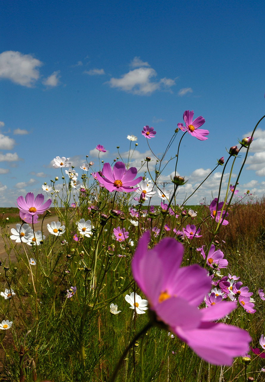 Cosmos flowers in bloom are a common sight along rural Free State roads in spring and autumn. Cosmos are native to Mexico and found across South America. The plants are now widespread in South Africa, brought here in contaminated horse feed imported from Argentina during the South African (Anglo-Boer) War of 1899 to 1902. (Graeme Williams, Media Club South Africa)